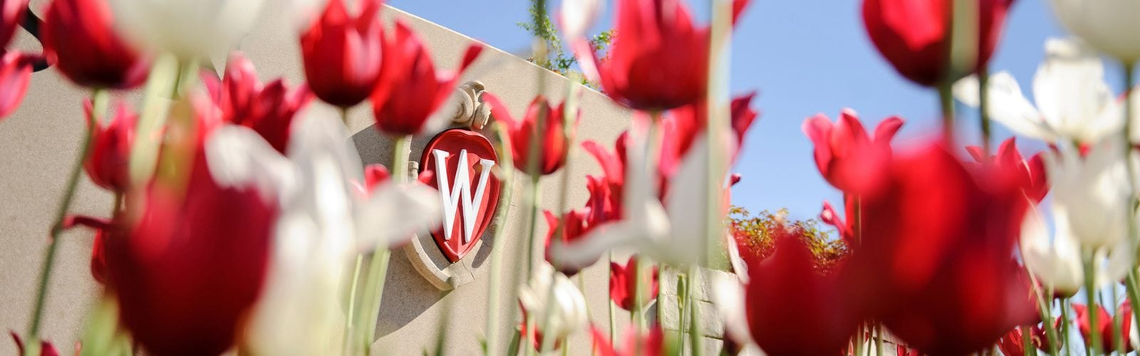 Flowering red and white tulips